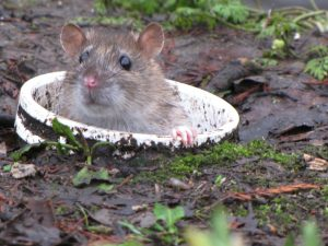 Can rats make homes in sewers